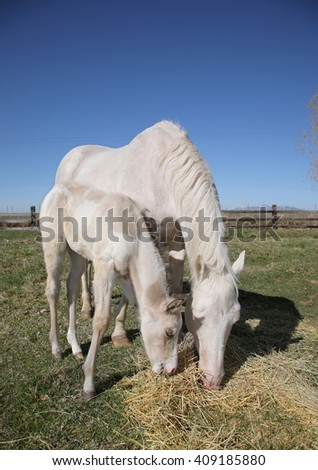 white adult horse and foal standing in a field grazing on hay - stock photo