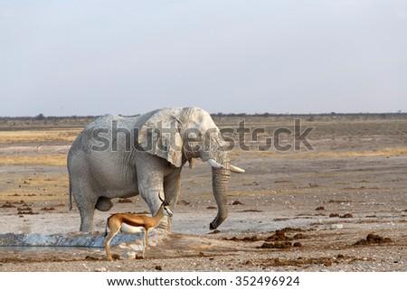 White african elephants from mud on waterhole, Etosha national Park, Ombika, Kunene, Namibia. True wildlife photography - stock photo