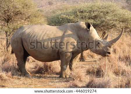 White african rhino body shot.