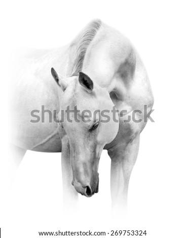 white akhal-teke horse with beautiful neck in high key - stock photo