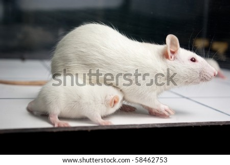 white (albino) rat with baby rat on open field board - stock photo