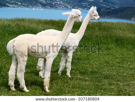 White alpakas are on backgrounds of fjord, South Island, New Zealand. - stock photo