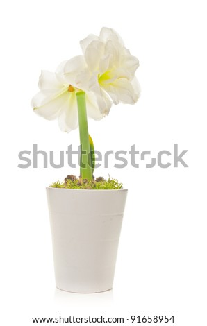 White amaryllis in a white clay pot over white background - stock photo