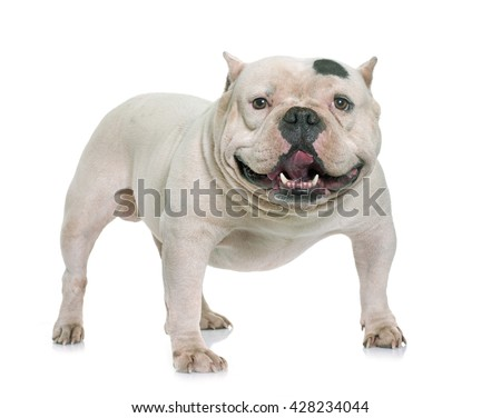 American Bully Stock Images Royalty Free Images Amp Vectors