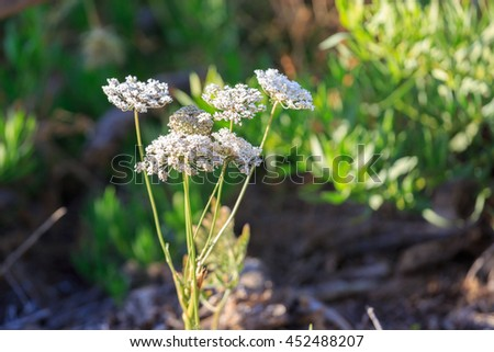 White ammi flowers on a blurred background