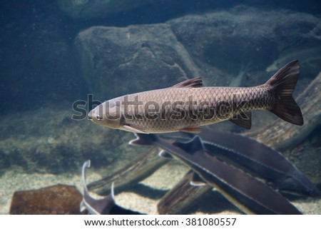 Ctenopharyngodon idella stock images royalty free images for White amur fish