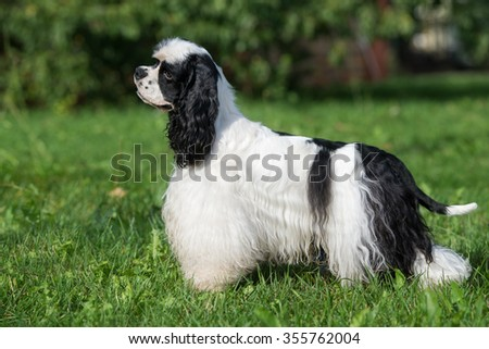 white and black american cocker spaniel dog