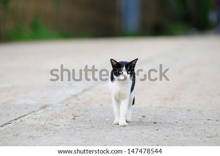 white and black cat walking on the road in country side - stock photo