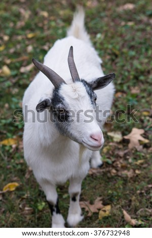 Nigerian Dwarf Goats Stock Images, Royalty-Free Images ...