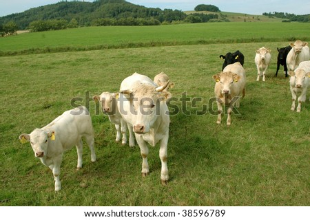 White and black cows graze in the pasture. - stock photo