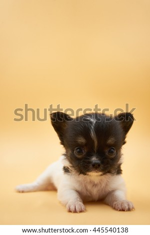 white and black puppy chihuahua looking - stock photo