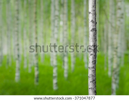 White and black trunk of birch tree in forest in early summer