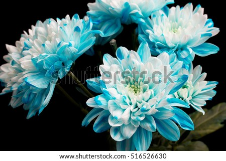 white and blue chrysanthemum