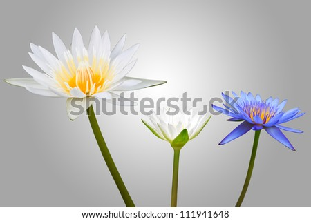 White and Blue Lotus Isolated on grey Background - stock photo