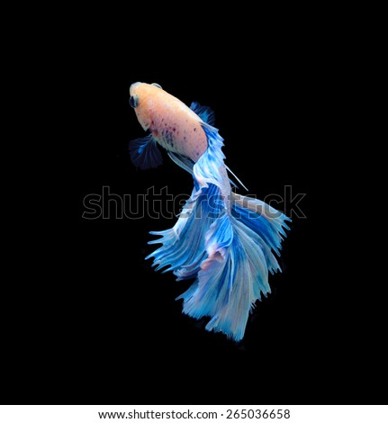 White and blue siamese fighting fish, betta fish isolated on black background. - stock photo