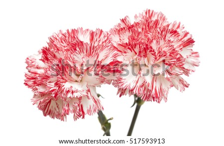 white and bright pink carnation isolated on white backgrond
