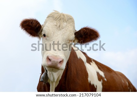 white and brown cow in the mountain pastures - stock photo