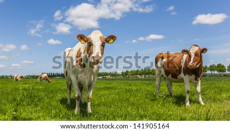 White and brown cows in a green meadow