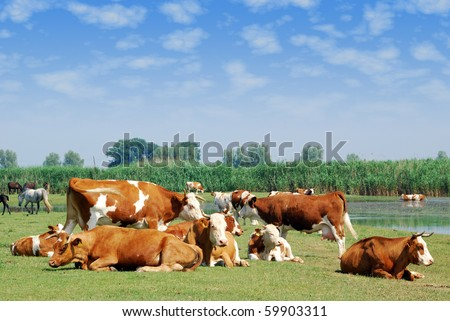 white and brown cows on pasture - stock photo