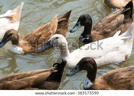 White and brown Ducks masses swimming on lagoon