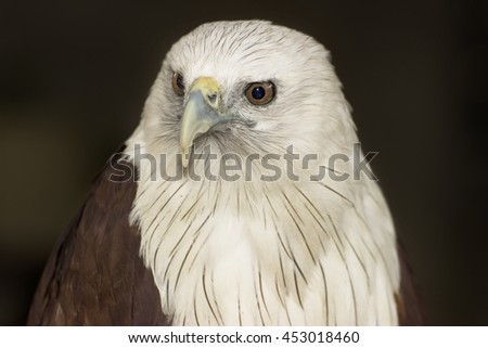 white and brown eagle close up image - stock photo