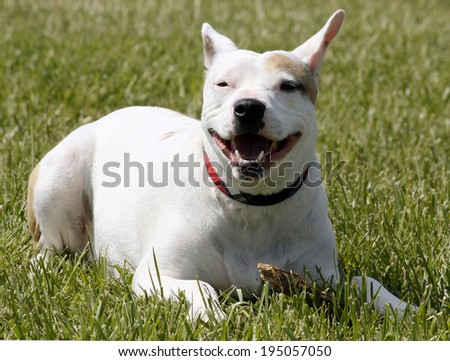 white and brown pit bull in grass