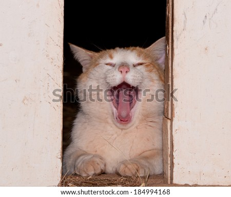 White and ginger tomcat yawning between barn doors - stock photo