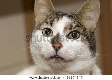 White and gray cat begging for food. Closeup portrait