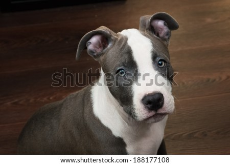 White and gray color Pitbull puppy sitting on a dark wood floor background. Blue nose staffordshire - stock photo