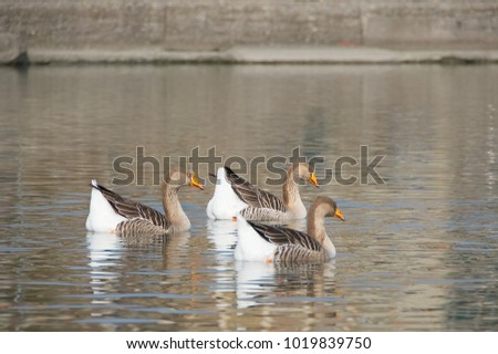 White and gray geese at the mouth of the river Entella - Chiavari - Italy
