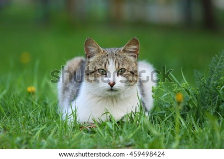 White and gray young cat lying on the grass. Cat looking at the camera. Homeless cat