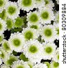 white and green chrysanthemum flowers - stock photo