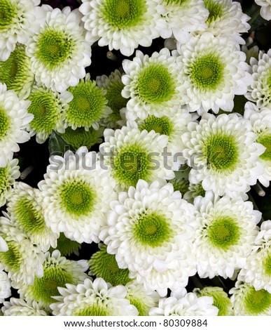 white and green chrysanthemum flowers - stock photo