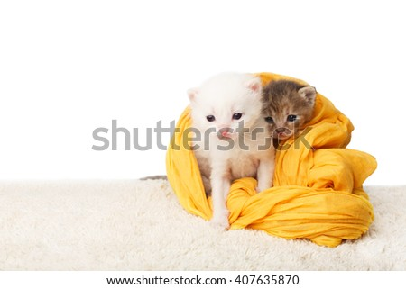 White and grey kittens. Cute kittens in a yellow cotton textile isolated at white background. Adorable pets. Small heartwarming kittens. Little cats. Animals isolated. High key - stock photo