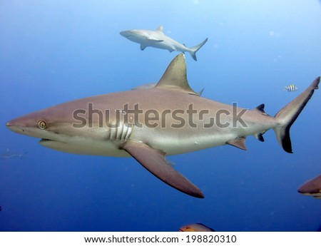 White and grey tip reef shark. A feeding dive. Micronesia, Yap, Pacific ocean. Dangerous predators swimming in blue water. - stock photo
