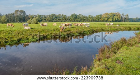 White and light brown cows are reflected in the smooth as a mirror surface of a narrow river. - stock photo