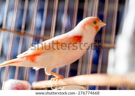 White and orange canary (Serinus canaria).,canary - stock photo