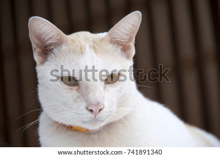 White and orange cat with orange collar on background brown color. cat is a small domesticated carnivorous mammal with soft fur, a short snout, and retractile claws.