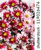 white and pink blooming chrysanthemum flowers - stock photo
