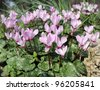 White and pink cyclamens as floral background - stock photo