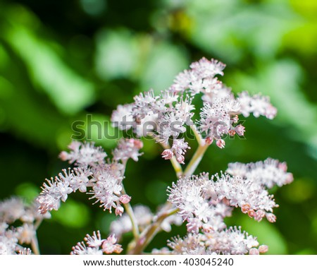 White and pink flowers of Spiraea Japonica Meadowsweet. Selective focus.