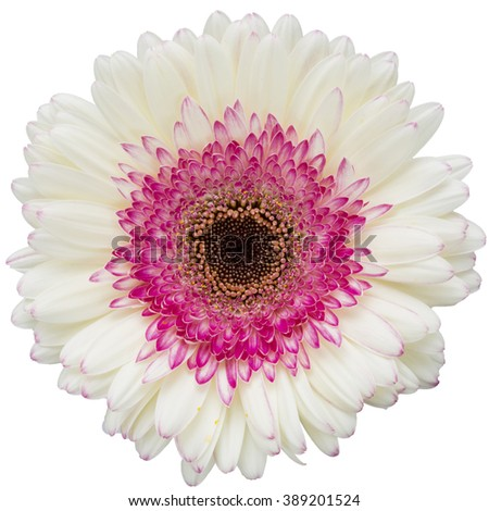 white and pink gerbera flower isolated on a white background