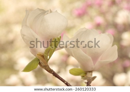 White and pink magnolia flowers on magnolia tree as a background