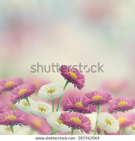 White And Pink Marguerite Flowers - stock photo