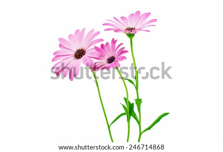 White and Pink Osteospermum Daisy or Cape Daisy Flower Flower Isolated over White Background. Macro Closeup - stock photo