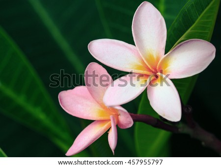 white and pink plumeria flowers with leaves vintage