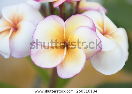 white and pink Plumeria spp. (frangipani flowers, Frangipani, Pagoda tree or Temple tree) on natural background. - stock photo