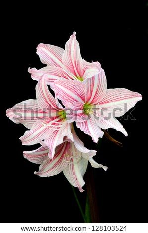 White and pink star lily (Hippeastrum reticulatum) isolated on black - stock photo