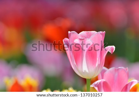 White and Pink tulips. (Flower-beds in the spring)