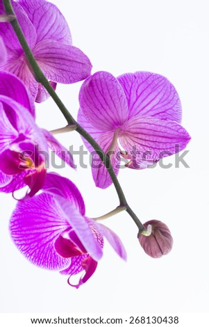 White and purple Phalaenopsis orchids and bud  - stock photo